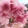 ある日の寒緋桜